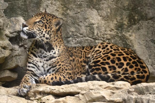 Pondering Jaguar