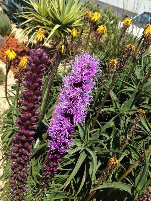 Purple blazing star flowers (Liatris spicata, Asteraceae)