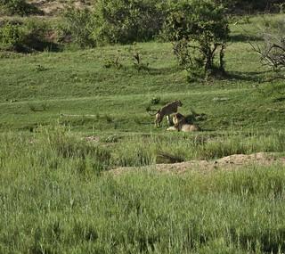 Lions near Shimuwini Bush Camp