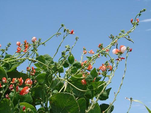 scarletrunnerbeans