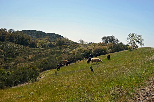 Cattle frequently graze in the meadow below the saddle.