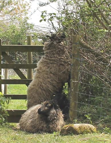 foraging sheep