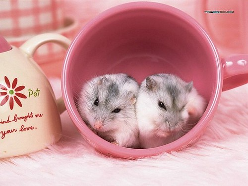 two-Hamster-wallpaper