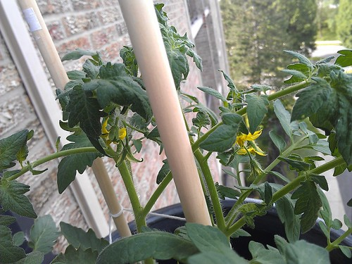 Flowers on the tomato plant
