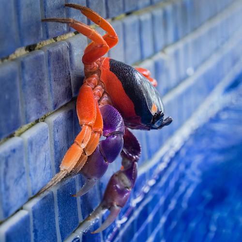 Swimming pool crabs (Halloween Crab) by David Ingram