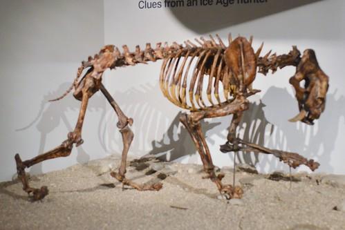 Sabertooth Cat Skeleton