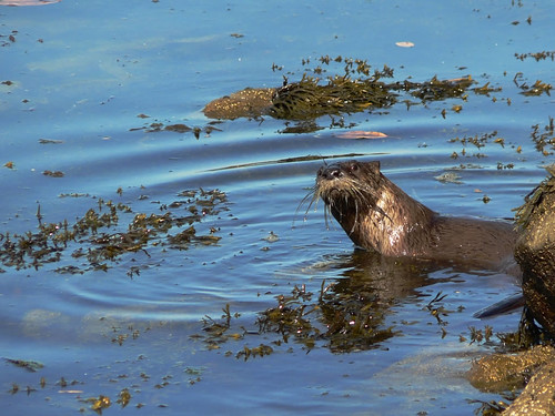 a whiskery sea otter peers at the camera in still, seaweedy seas.