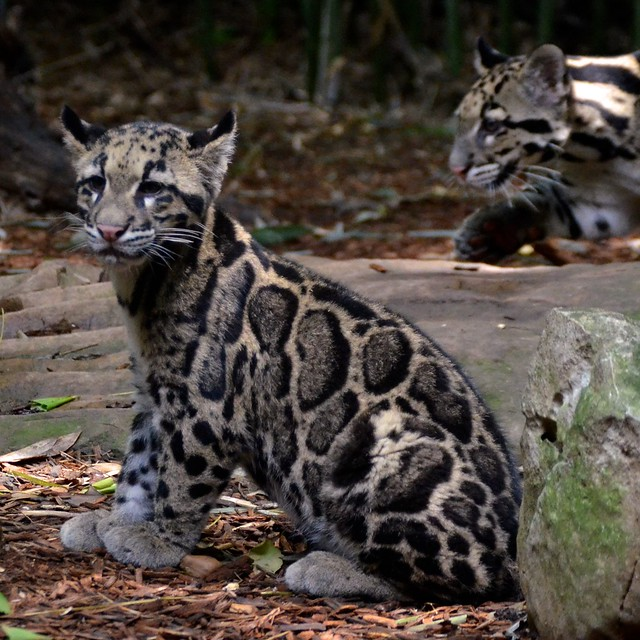 Sitting Clouded Leopard
