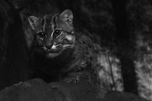 Fishing Cat at F/2.8 (Final)
