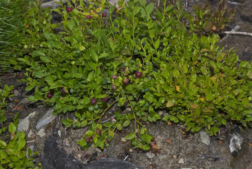 Dwarf huckleberries