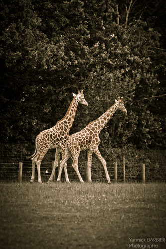 07082012-_MG_4519 - Girafes au ZOO de CERZA by Yannick BARBIER