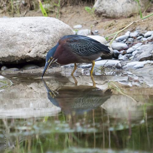 Green Heron-0335