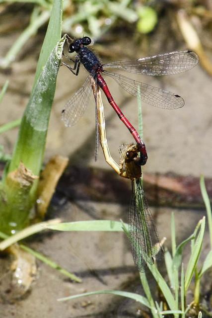 Western Red Damsels (Amphiagrion abbreviatum) in copula
