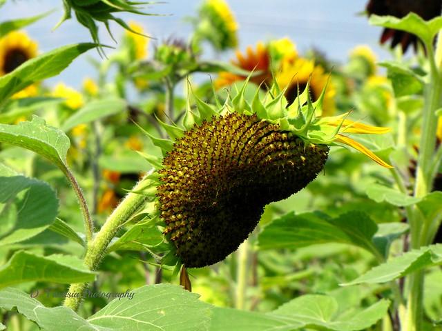 Unique Sunflower