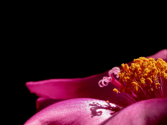 Macro pink flower in dark background