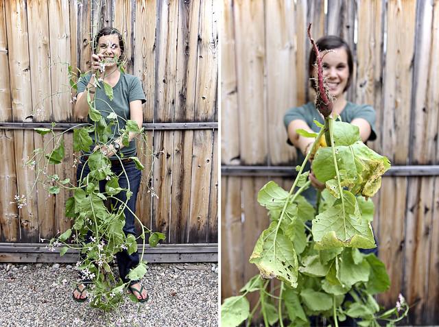 the 6 feet tall radish plant