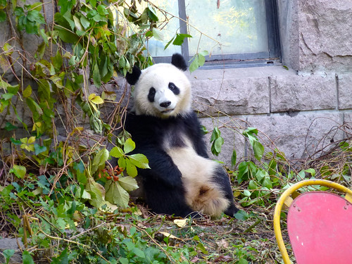 Panda, Beijing Zoo