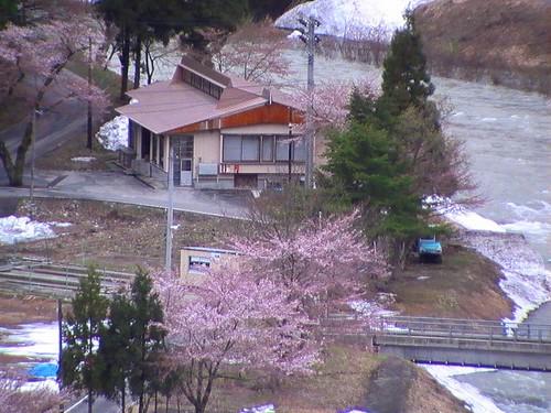 西川町の山間地にも春