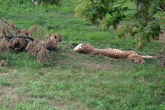Lazy Cheetah Afternoon