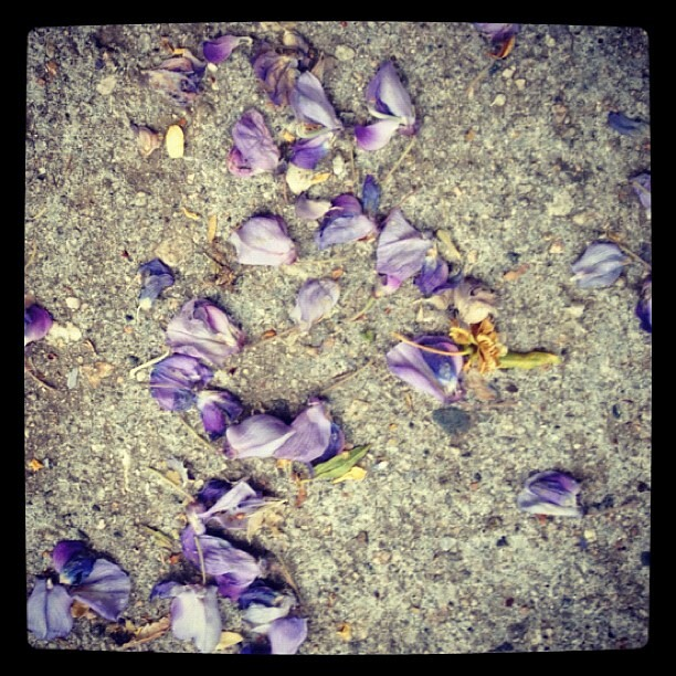 Every morning I come down to my car and find a #secretmessage left on the ground, and on the car's roof. Jacaranda, rose and nectarine blossoms are collaborating in an attempt to tell me something. That life is perfect just as it is? That beauty is all ar