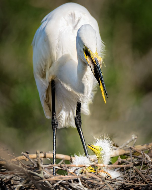 Great Egret Mom feeding chicks