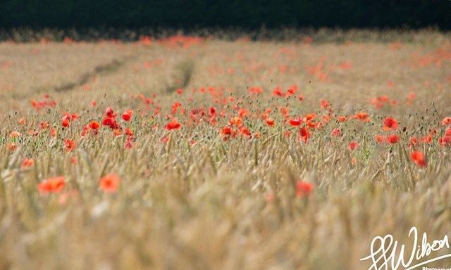 Poppy Field – Daily Photo (27th July 2012)