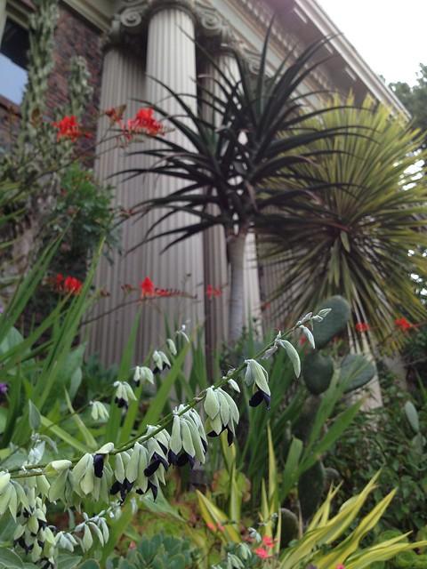 Andean silver-leaf sage (Salvia discolor, Lamiaceae)