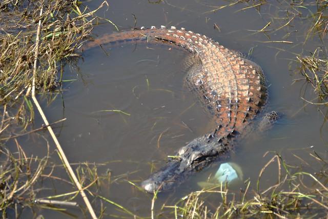 Alligator Crescent