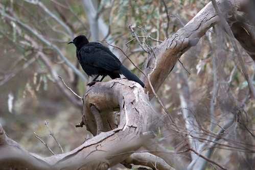White-winged Chough 2012-04-09 (_MG_6509)