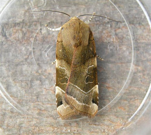 Broad Bordered Yellow Underwing