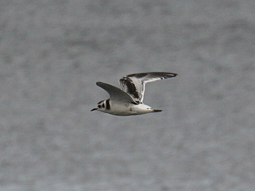 Little Gull Tophill Low NR, East Yorks, Aug 2012