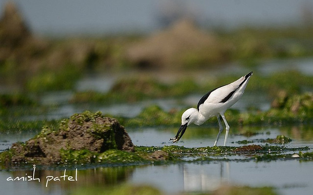crab plover with CRAB