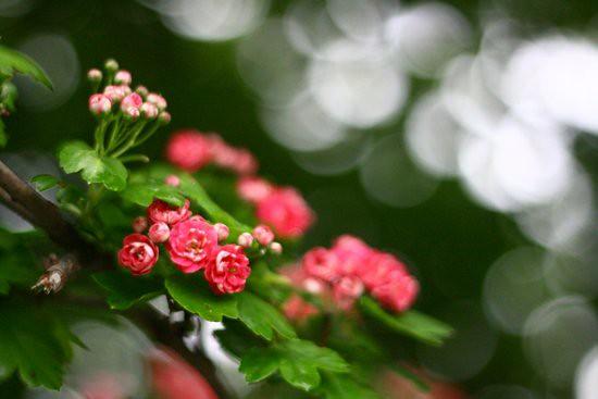 Thumbnail size roses