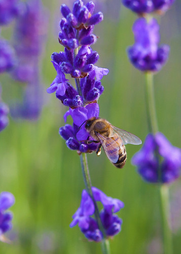 Bee and lavender by Jill Sawyer Phypers
