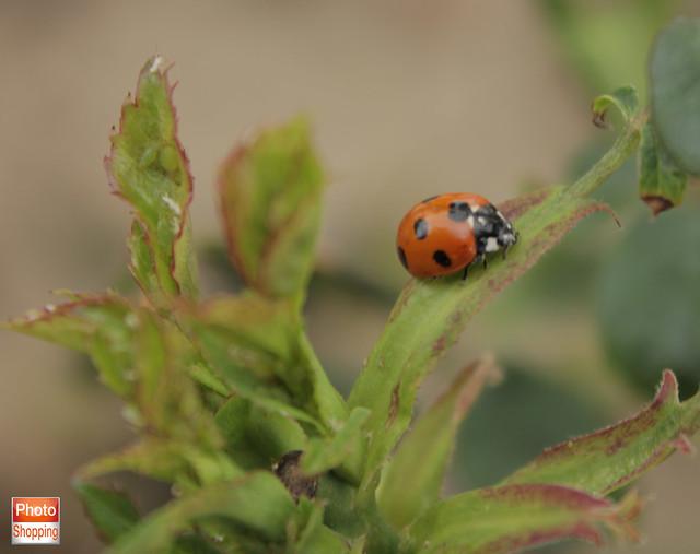 ladybird 6