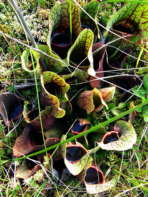 pitcher plant family