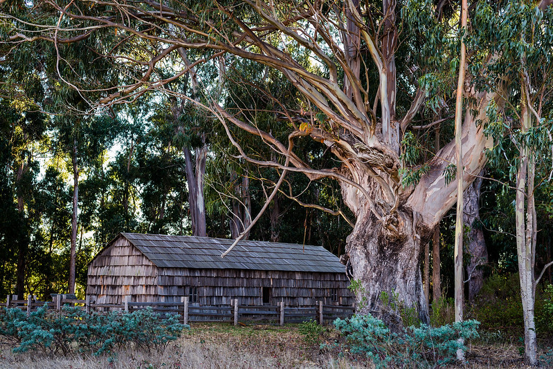 The eucalyptus tree, by the cooper's cabin, andrew molera state park