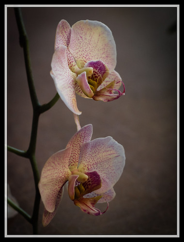82/366 - Orchids by Flubie