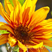 Bicolored Sunflower