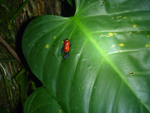 Poison Arrow Frog by tomp77