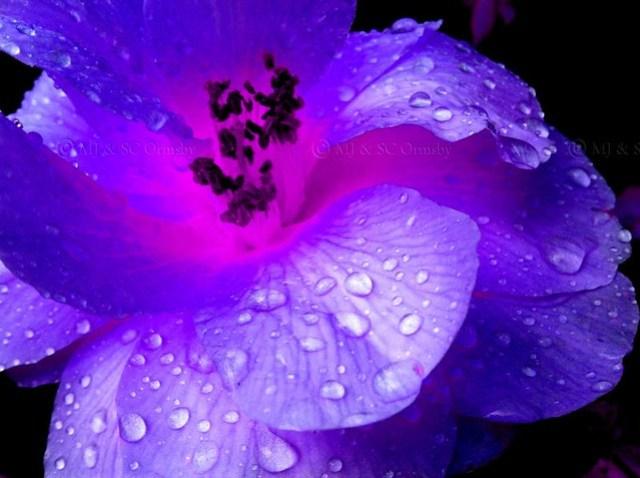 Purple Camilia