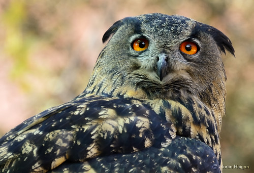 Cape Eagle Owl Portrait by Martin_Heigan