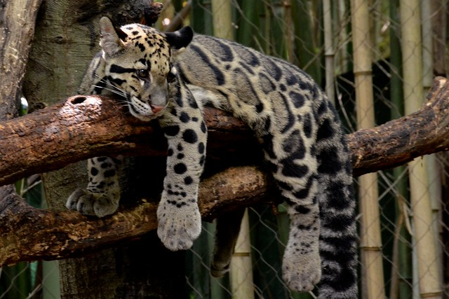 Lazy Clouded Leopard