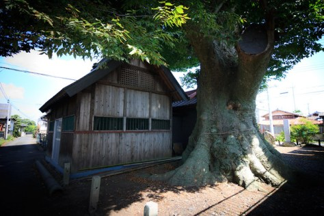 #50 The Giant Zelkova of Oki