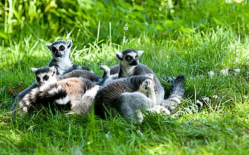 Ring-tail lemur - inside a diamond-shaped link fence.