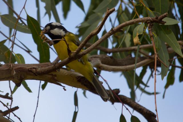 Crested Shrike-tit 2012-04-06 (_MG_6038)