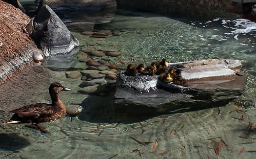 191 - Ducklings