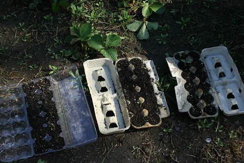 Seeds growing in paper egg cartons