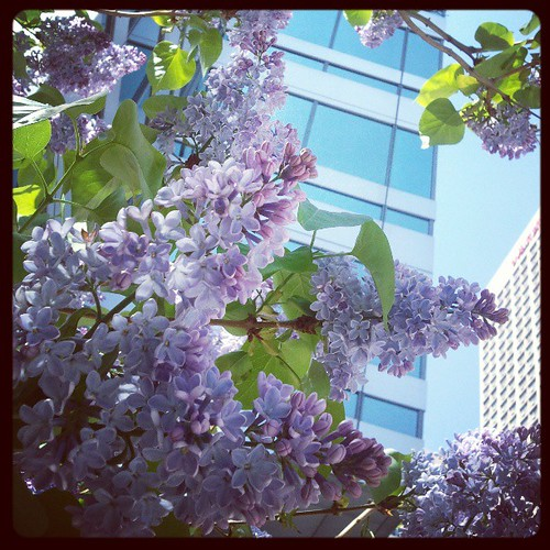 This morning I was bowled over by the lilacs. So fragrant and so beautiful.