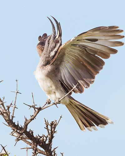 African Grey Hornbill, displaying, Masai Mara